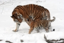 China to create massive national park to protect Siberian Tiger and Amur Leopard