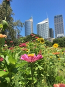 Wildflower meadow pops up in the heart of Sydney