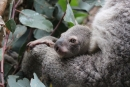 WILD LIFE Sydney Zoo celebrates birth of koala joey