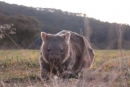 New smartphone app aids wombat conservation